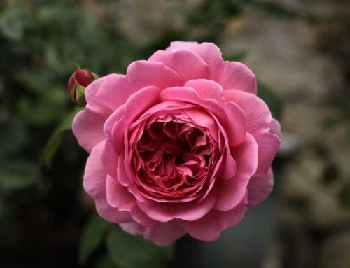 Irish Gardens : Formal Planting or Nature's Design